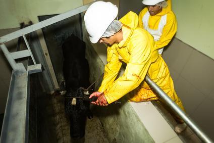 Loi sur le respect de l'animal en abattoir: Obligation de caméras dans les abattoirs dès 2018